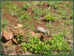 Minnie noisy miner looks dead (but is actually having a great time) lying flat out on the dirt bank