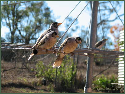 noisy-miners on the washing line