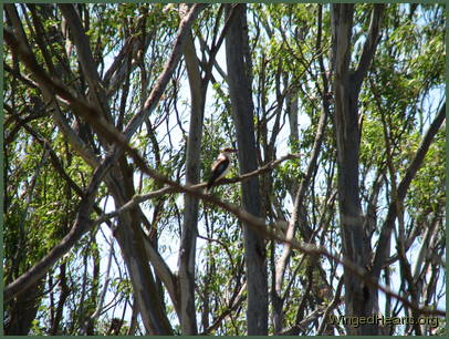 Kookie kookaburra flies past - her colours blend well with the gum trees