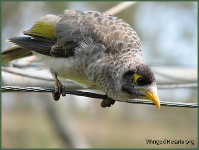 Minnie bird - the Noisy miner