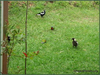 The magpies and butcherbirds are happy to say hello