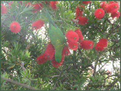 Scaly-breasted lorikeet friends