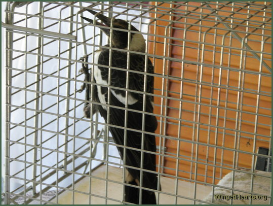 Shelly magpie in the cage ready to go to the vet