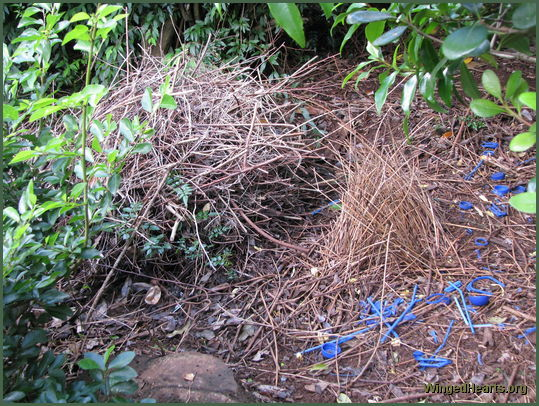 blue bowerbird's blue bower