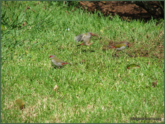 red brow finches also called firetails